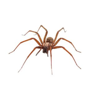 Common house spider identification provided by Leo's Pest Control in Bristol TN